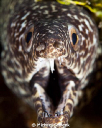 Spotted moray...a dentist's dream by Michael Schlenk