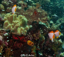 Coral Sea by Bill Arle