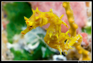 Last one of the year; Soft coral seahorse  Hippocampus-de... by Dray Van Beeck