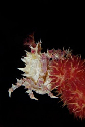 A soft coral spider crab reaching for the top. by Steve De Neef