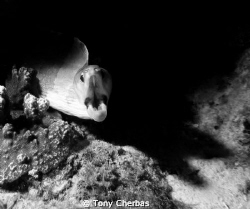 Moray out of shadows by Tony Cherbas
