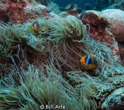 Anemonefish.  Coral Sea. by Bill Arle
