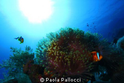 sea anemone to the light by Paola Pallocci