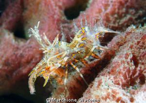 Tiger shrimp Nikon D200, 60 micro, twin strobo Lembeh s... by Marchione Giacomo