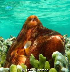 Octopus sunning on coral a foot below the surface. by Tony Cherbas