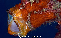 Red frog fish with a huge mouth by Sinan Kamiloglu