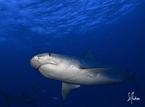 Once this Tiger Shark was comfortable she followed us aro... by Steven Anderson