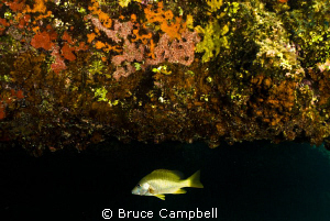lone fish under coral over hang by Bruce Campbell