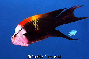 Slingjaw Wrasse.......canon G9 with internal strobe, the ... by Jackie Campbell