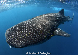 My first ever whale shark!!! What a way to end the year... by Michael Gallagher