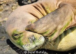 monk seal at Ka'ena point Oahu. by Jozef Butala