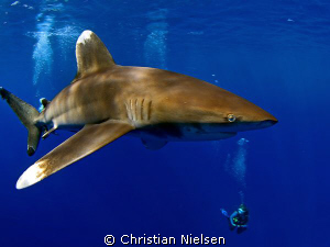 Master of the Red Sea. Another impressive oceanic whiteti... by Christian Nielsen