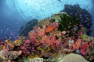 Colorful Fiji reefs by Andy Lerner