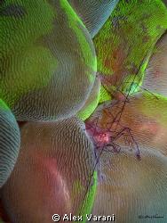 vir philippinensis on colourfull plerogyra sinuosa by Alex Varani