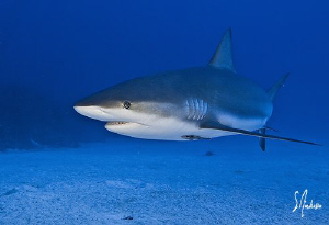 The Bahamas is home to a healthy abundance of Reef Sharks... by Steven Anderson