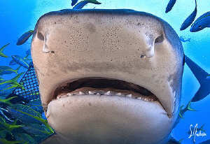 Open up and say Ahhhhhhhhh!  Tiger Shark at Hammertime R... by Steven Anderson