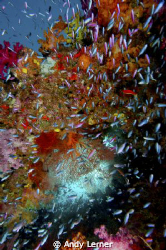 Anthias surround this hole in a Fiji reef by Andy Lerner