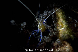 shrimp in anemone by Javier Sandoval