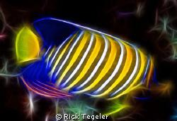 Regal angelfish....enjoy! by Rick Tegeler