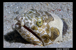 I found this interesting napoleon snake eel during my sun... by Andre Yanco