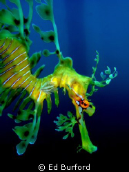 Leafy Sea Dragon at the Rapid Bay Jetty on the Fleurieu P... by Ed Burford