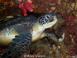turle on Siladen by Alex Varani
