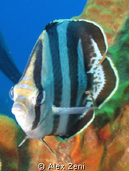 Butterfly fish by Alex Zeni