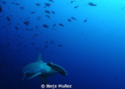 Nice hamerhead swiming by at the Galapagos by Borja Muñoz