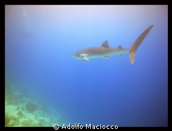 4 mt. Whale Shark cruising next to the reef (While every... by Adolfo Maciocco