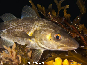 Atlantic cod, (Gadus morhua)