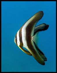 Side view of three juvenile batfish by Thomas Dinesen