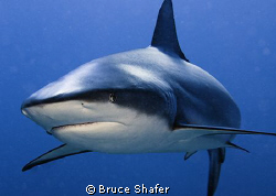 A friendly inhabitant of the Cay Sal Banks. by Bruce Shafer