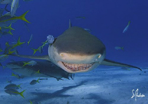 Lemon Sharks smile often with crooked teeth and patrol Ti... by Steven Anderson