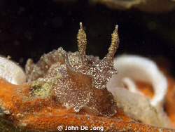 Dutch Nudibranchia are not so colorfull as the species fr... by John De Jong