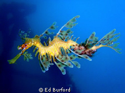 Leafy Sea Dragon taken at the Rapid Bay Jetty on the Fleu... by Ed Burford