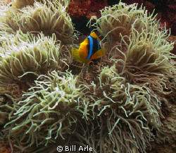 Anemone fish.  Coral Sea. by Bill Arle