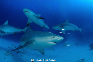 bull sharks by Juan Cardona