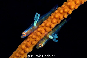 We have antennas! Two small gobies with parasites attach... by Burak Dedeler