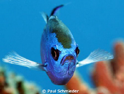 This Blue Chromis was captured in Cozumel using a Canon T... by Paul Schmieder