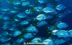 Nice school of jacks that passed close by by Robert Michaelson