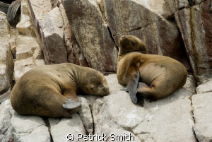 Cute And Cuddley sunning on the rocks of Isla Ballesta,Pa... by Patrick Smith