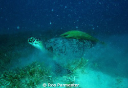Turtle with ramoras at Marsa Shouny, southern Egyptian Re... by Ros Parmenter