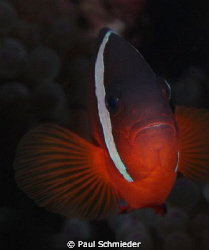Within the Somosomo Straight in northern Fiji, this Clown... by Paul Schmieder