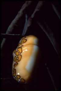 Flamingo Tongue, Salt Pier, Bonaire. F90X & 60mm lens in ... by Andy Heath