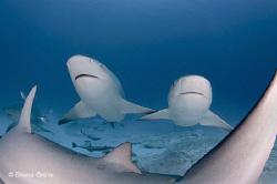 Bull Shark Sisters by Shane Gross
