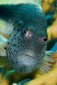 Close up detail of a Hawkfish taken with a 60mm lens and ... by Paul Colley