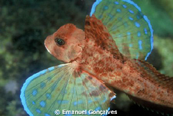 Streaked gurnard flying underwater