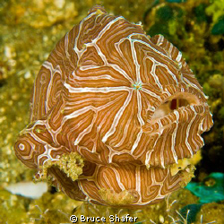 Psychedelic Frogfish (Histiophryne Psychedelica), one of ... by Bruce Shafer