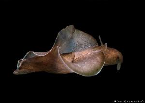 Sea-Hare (Aplysia fasciata) during free flight ;-) by Rico Besserdich