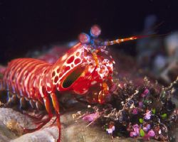 Mantis Shrimp, Fiji (Nikon F4, 105mm Macro, Aquatica hous... by Andrew Dawson